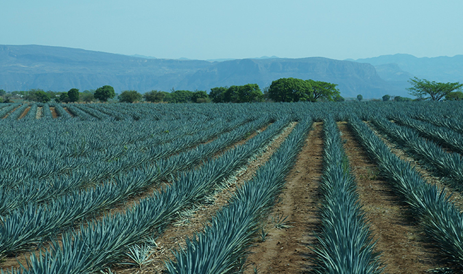 azul-agave-tequila
